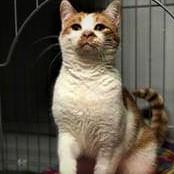 cat for adoption beeker near hobart in petfinder