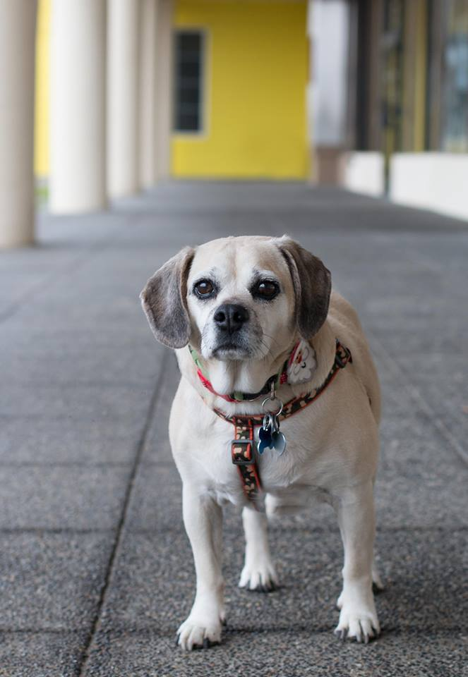 Buddy, an adoptable Pug & Beagle Mix in Kennewick, WA