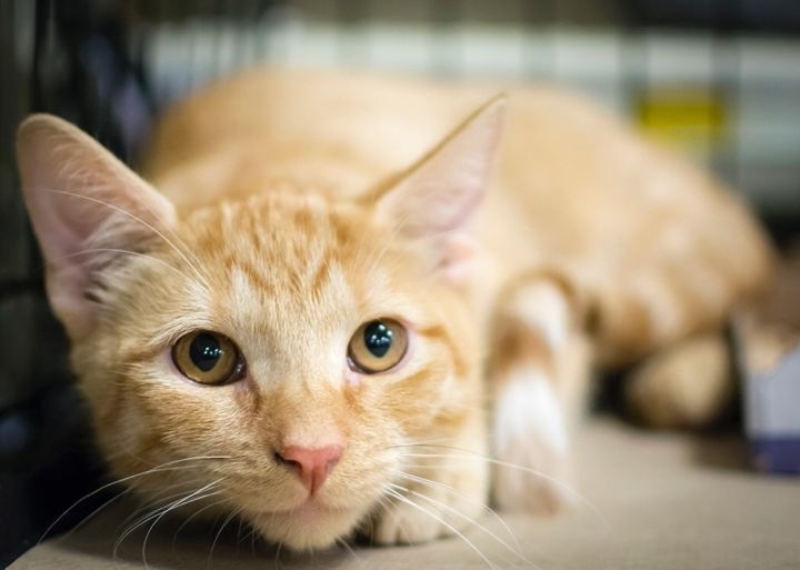 Clover, an adoptable Domestic Short Hair in Weehawken, NJ