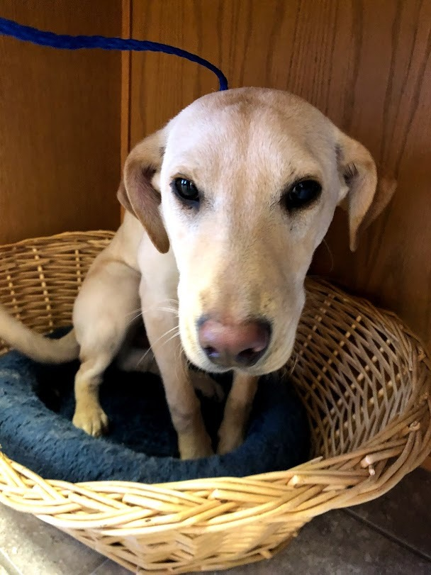 Dobby, an adopted Labrador Retriever Mix in Hays, KS