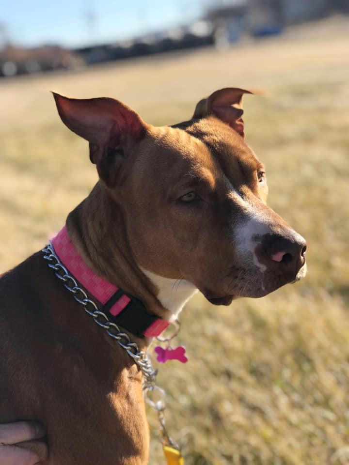 Delilah, an adoptable American Staffordshire Terrier Mix in Manhattan, KS
