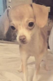 MINNIE-LHB, an adopted Italian Greyhound & Chihuahua Mix in Dallas, TX