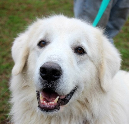 Olaf, an adopted Great Pyrenees in Reston, VA