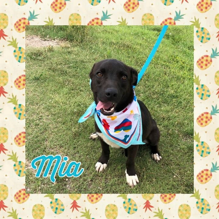 Dog for adoption - Mia, a Dachshund Mix in Amarillo, TX | Petfinder
