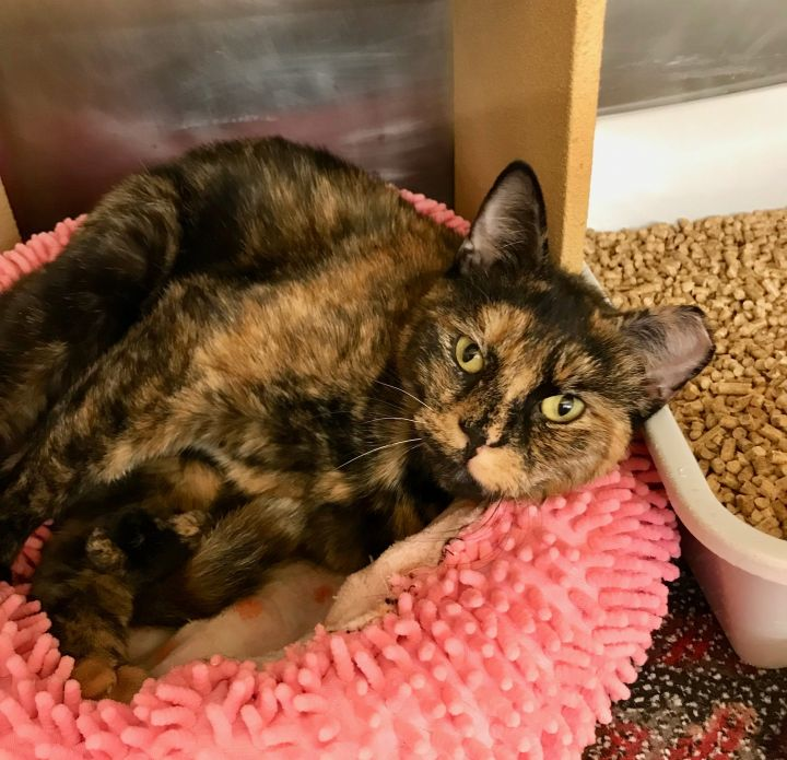 Kit Kat, an adoptable Domestic Short Hair & Tortoiseshell Mix in Colmar, PA