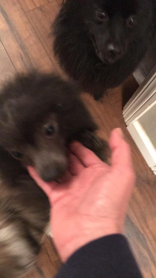 Dog For Adoption Jules A Pomeranian In Maineville Oh