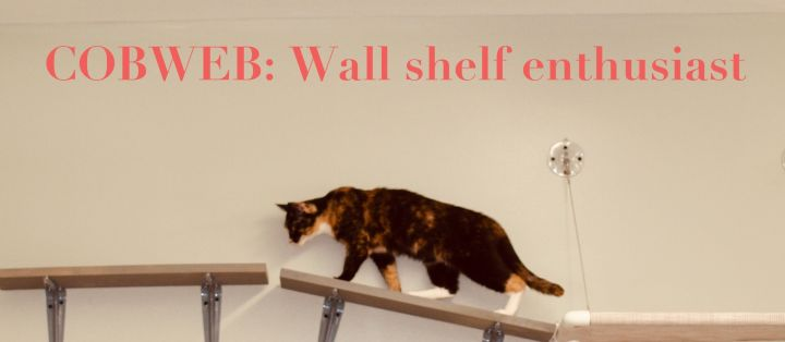 COBWEB, an adopted Domestic Short Hair Mix in Fort Kent, ME