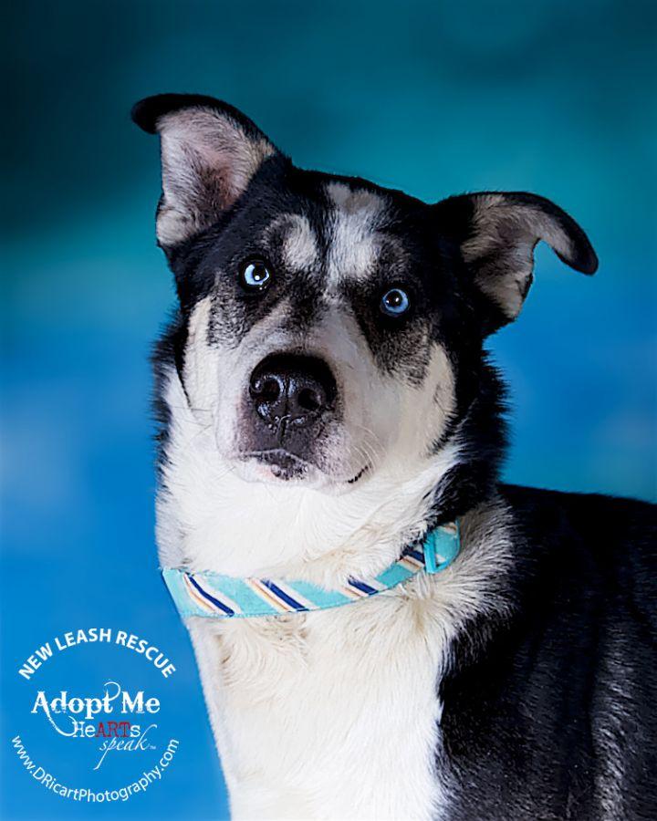Dog for adoption - Zeus, a Husky & German Shepherd Dog Mix in