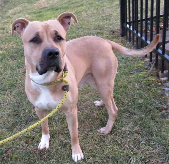 Bruce Willis, an adopted Black Mouth Cur & Pit Bull Terrier Mix in Harrisburg, PA