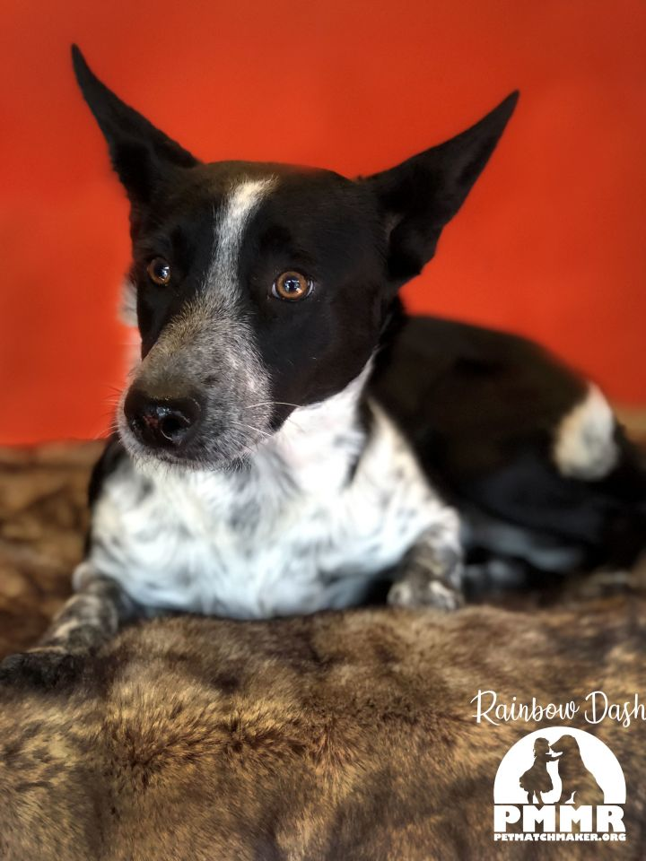 Dog For Adoption Rainbow Dash A Cattle Dog Border Collie Mix In