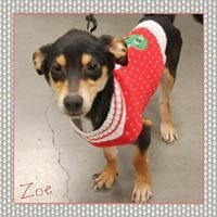 Dog for adoption - Zoe, a Dachshund & Rottweiler Mix in Amarillo, TX