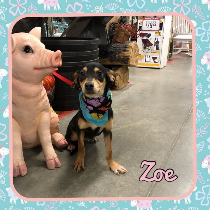 Dog for adoption - Zoe, a Dachshund & Rottweiler Mix in