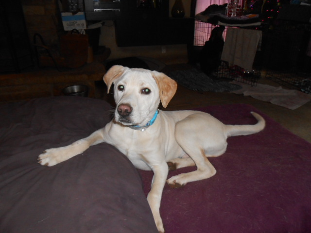 Dog For Adoption Axle A Yellow Labrador Retriever Mix In North