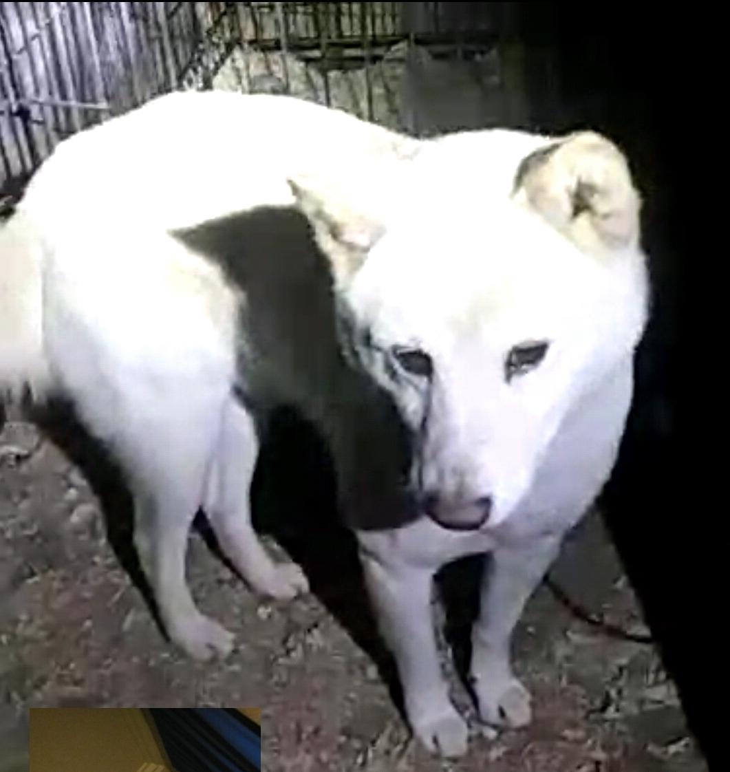 Shiba Inu Dog Breed Profile Petfinder