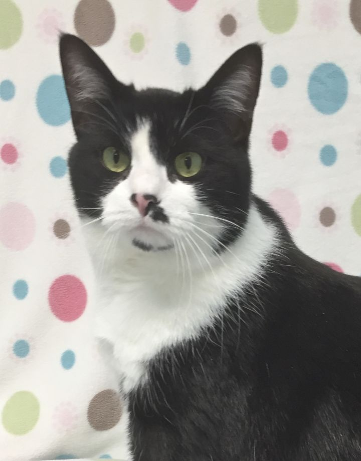 Toto, an adopted Domestic Short Hair & Tuxedo Mix in Allegan, MI