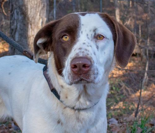 Hope, an adopted Pointer Mix in Clarkesville, GA