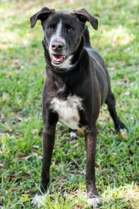 Shadow, an adoptable Retriever Mix in Loxahatchee, FL