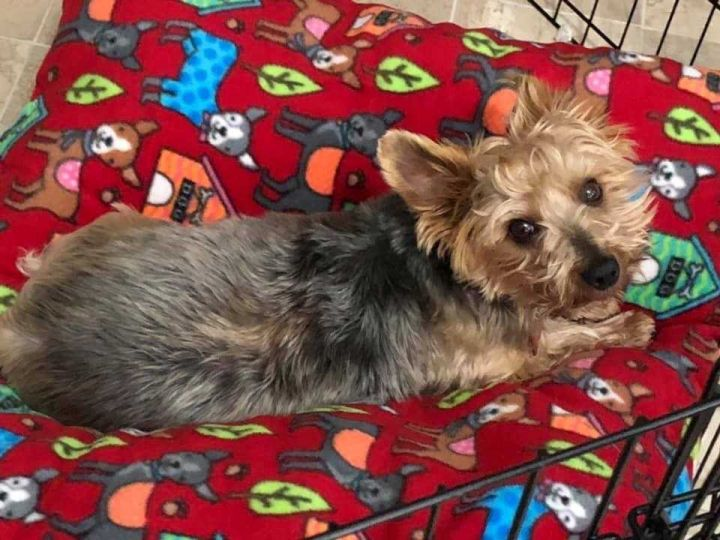 Dog for adoption - Yorkie - Howie PENDING ADOPTION 8/15/19