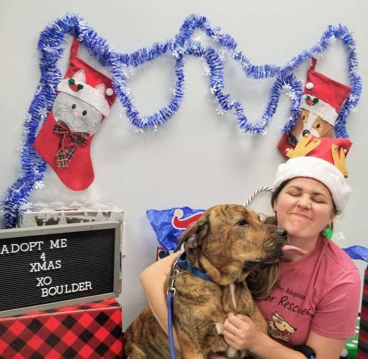 Dog for adoption - Boulder, a Labrador Retriever & Shar-Pei