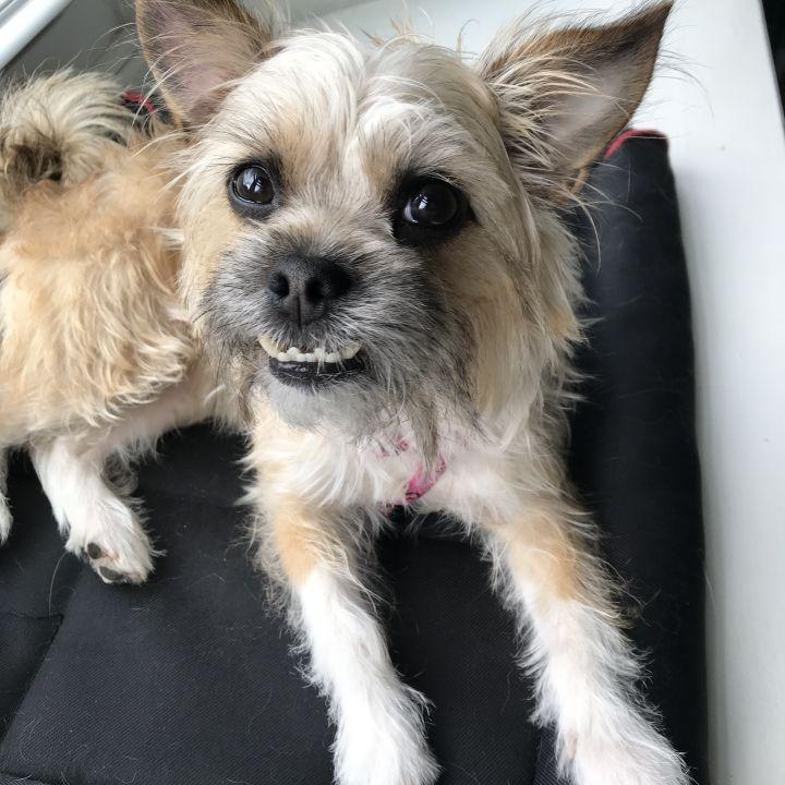 Dog for adoption - Kit Kat, a Yorkshire Terrier & Pug Mix in