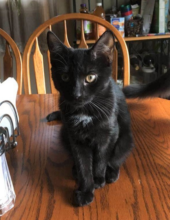 RacyLee, an adoptable Domestic Short Hair in Boiling Springs, PA