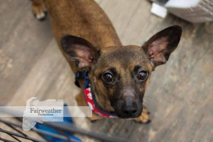Tiger, an adopted Chihuahua & Dachshund Mix in Cypress, TX