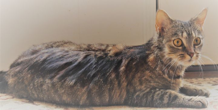 Nora, an adoptable Domestic Short Hair in Boiling Springs, PA