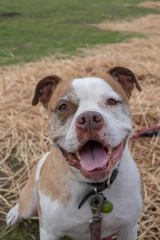 PANCHO, an adoptable American Staffordshire Terrier Mix in Point Richmond, CA
