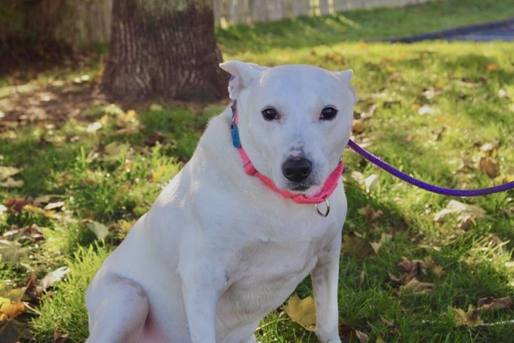 Bunny, an adoptable Cattle Dog Mix in Medford, NY