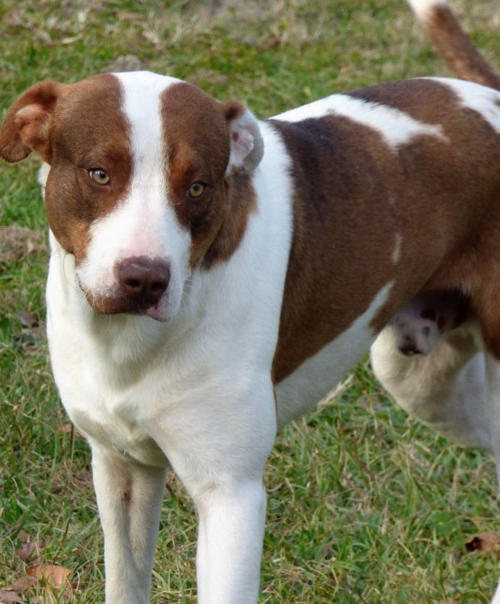 Mutley, an adopted Treeing Walker Coonhound & Mastiff Mix in Jacksonville, FL