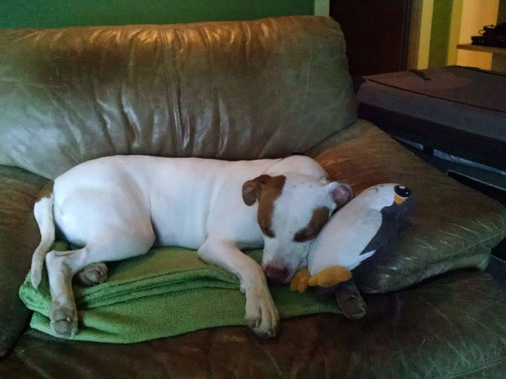 Rosie, an adopted American Staffordshire Terrier in Ridgway, CO
