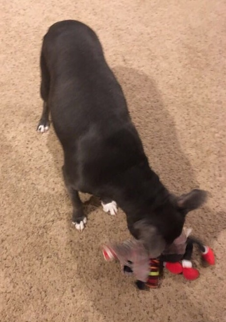 Blue, an adopted Staffordshire Bull Terrier Mix in Larned, KS