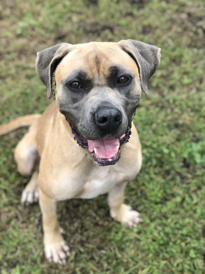 Gabby, an adopted Mastiff Mix in Bay Shore, NY