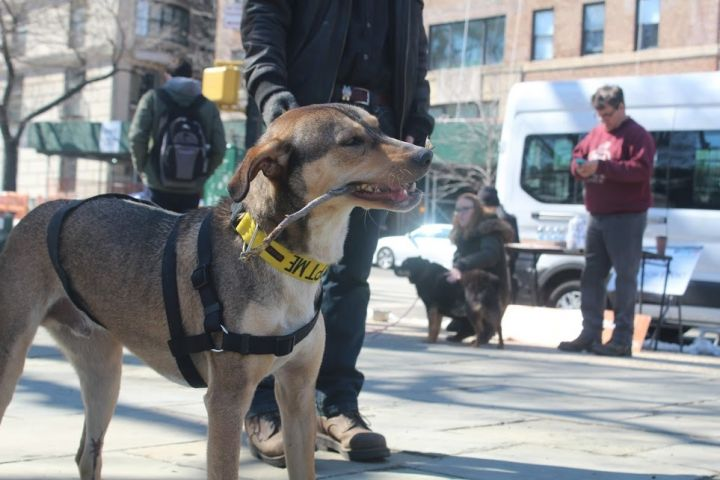 Chakir (Chico)Egyptian Baladi Pup, an adopted Canaan Dog & Greyhound Mix in New York, NY