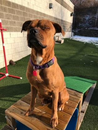Dog For Adoption Roxy A Cane Corso Mix In Cleveland Oh Petfinder