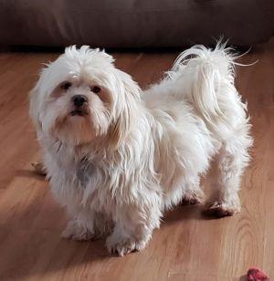 Dog for adoption - Hank, a Shih Tzu in Crompond, NY | Petfinder