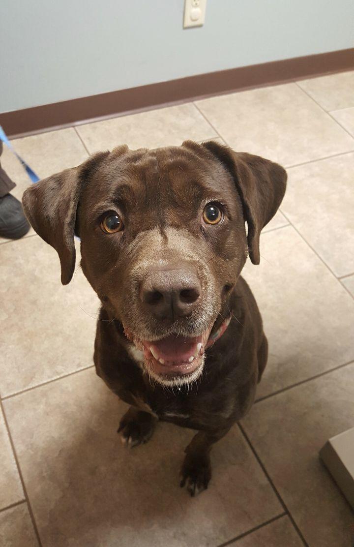 Dog for adoption - Jolene Jiggles, a Chocolate Labrador