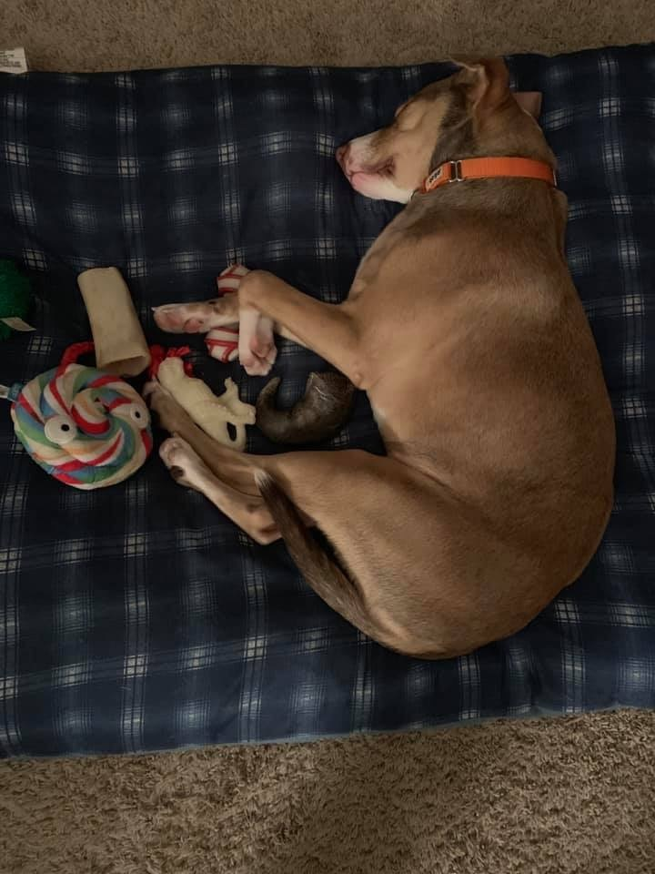 Sasha, an adopted American Staffordshire Terrier & Pit Bull Terrier Mix in Saint Paul, MN