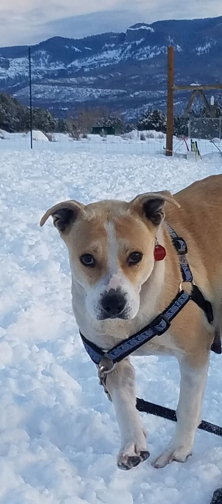 Diamond, an adopted Pit Bull Terrier Mix in Ridgway, CO