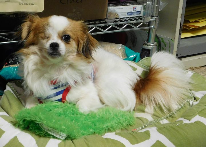 Dog For Adoption Teddy A Papillon Chihuahua Mix In Winston