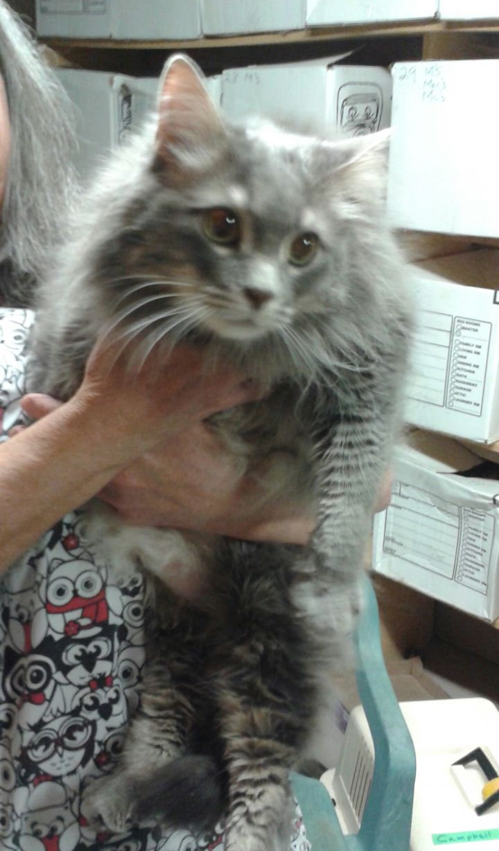 Cat For Adoption Cary Grant Bonded To Dusty Springfield A Domestic Long Hair In London On Petfinder