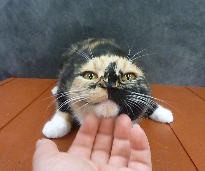 Poppy - Beautiful Young Calico 5