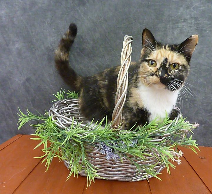 Poppy - Beautiful Young Calico 4