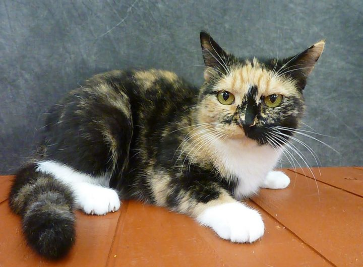 Poppy - Beautiful Young Calico 6