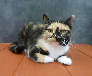 Poppy - Beautiful Young Calico