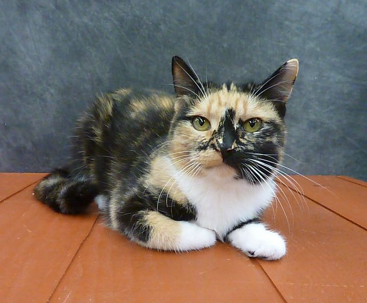Poppy - Beautiful Young Calico 1