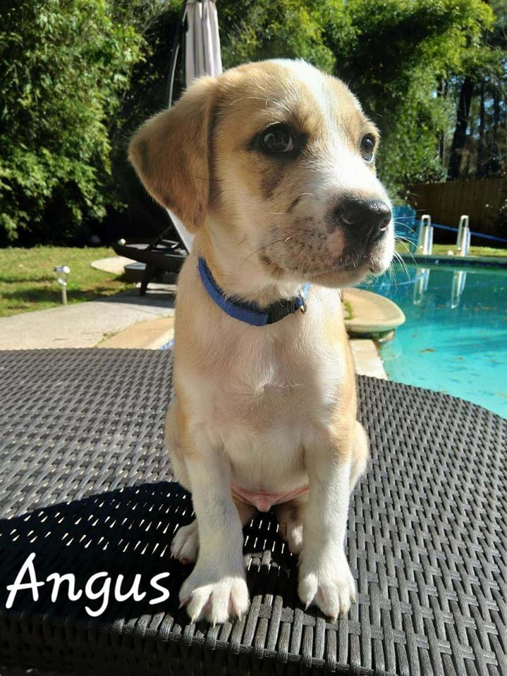 Angus, an adopted Great Pyrenees & Shepherd Mix in Cypress, TX