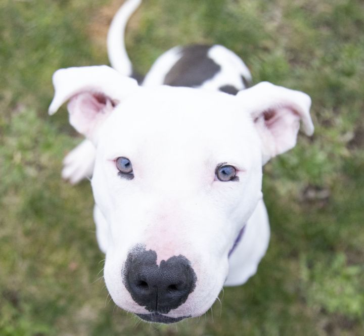 Sugar, an adopted American Staffordshire Terrier Mix in Friendswood, TX_image-1