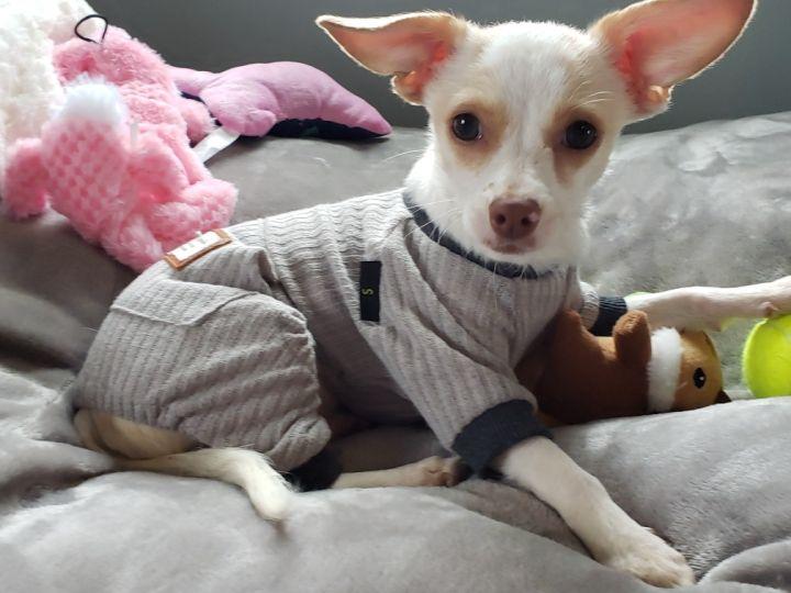 Dog For Adoption Celia Grace A Chihuahua Mix In Winston Salem Nc