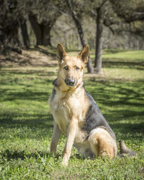 Dog For Adoption Ace A German Shepherd Dog In Waco Tx Petfinder